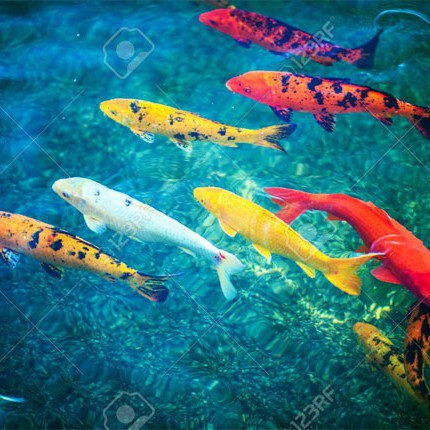 Pond-Fishes--Stock-Photo