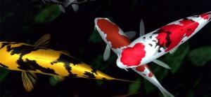 fish-wallpaper-koi-1920x1080